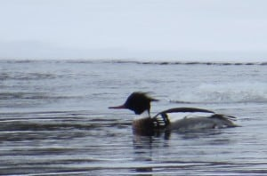 Red-breasted Merganser on Otonabee -Tom Northey