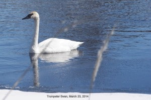 Trumpeter Swan - March 23, 2015 - Guy Hanchet