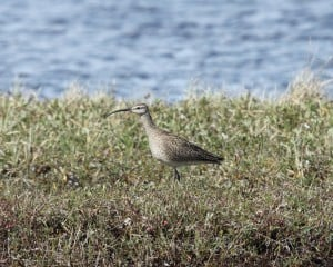 Whimbrel - Mike Burrell