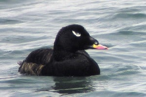 White-winged Scoter - Wikimedia