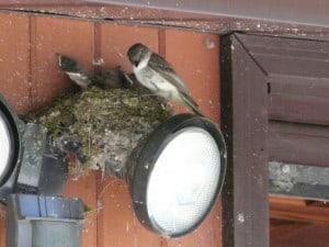 Eastern Phoebe at nest - David Frank