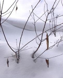 Four Promethea cocoons - Tim Dyson