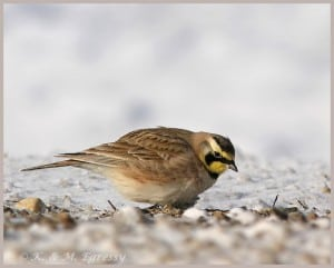 Horned Lark (by Karl Egressy)