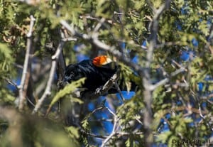 Red-winged Blackbird - March 2014 - D.J. McPhail