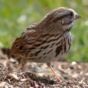 Song Sparrow - Wikimedia