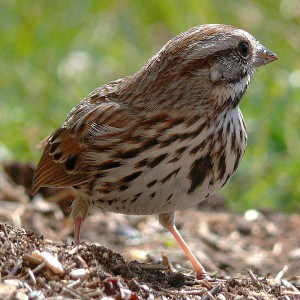 Song Sparrow - Wikimedia