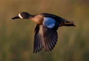 male Blue-winged Teal in flight (Wikimedia)