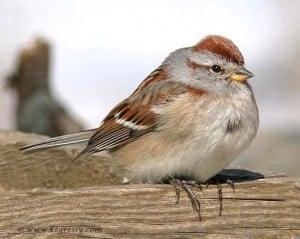 American Tree Sparrow - Karl Egressy