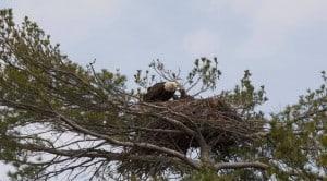 Bald Eagle on nest on Stony Lake - Jeff Jones