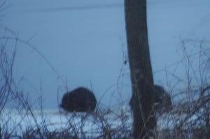 """Beavers """"munching"""" on a willow branch  - Karen Pero Cooper"""