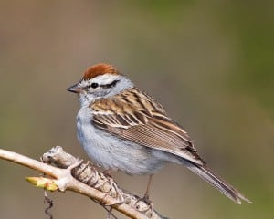 Chipping Sparrow - Karl Egressy