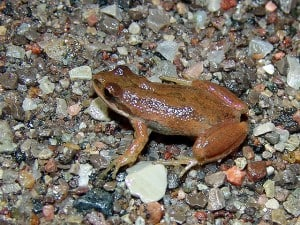 Chorus Frog -Tim Dyson