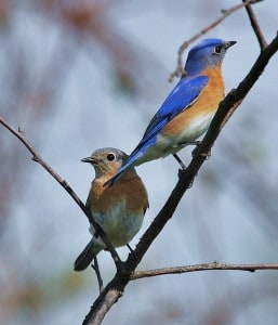 A pair of Eastern Bluebirds - male at upper right - Wikimedia