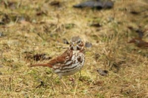 Fox Sparrow - Jeff Keller