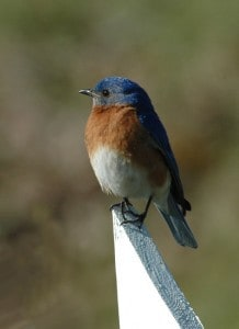 Eastern Bluebird - Kelly Dodge