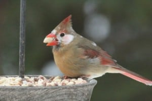 Leucistic Northern Cardinal - Murray Palmer