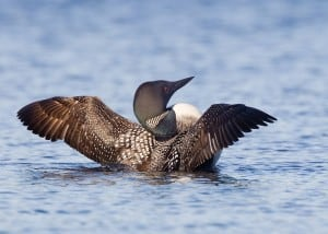 Common Loon (Karl Egressy)