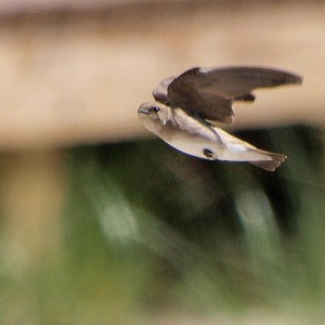 Northern Rough-winged Swallow in flight -  Wikimedia