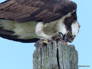 Osprey eating a fish - Don McLeod