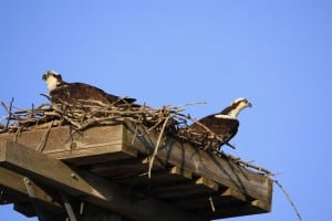 Ospreys on Selwyn Road - Jeff Keller