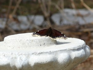 Mourning Cloak butterfly - April 12, 2014 - note snow in background - Drew Monkman