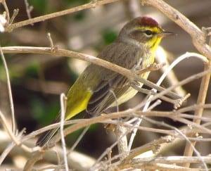 Palm Warbler - Gordon Robertson