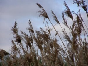 Phragmites on a roadside south of Peterborough - Photo by Drew Monkman