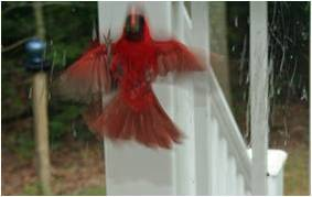 Northern Cardinal flying up against a window