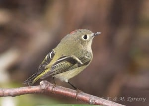 The Ruby-crowned Kinglet has a prominent eye ring. (Karl Egressy)