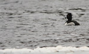 male Ring-necked Duck. The ring around the neck is almost never visible.  Jeff Keller