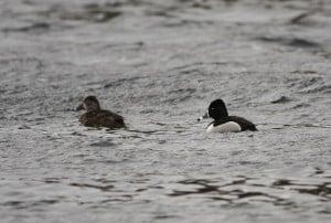 male and female Ring-necked Ducks - Jeff Keller