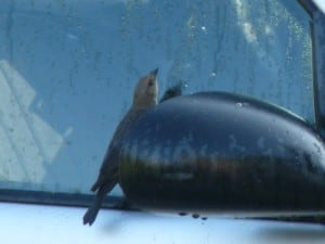 Brown-headed Cowbird checking out its reflection in car mirror and window - Drew Monkman