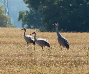 Sandhill Cranes in City of Kawartha Lakes - Wendy Leszkowicz