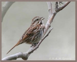 Song Sparrow - Karl Egressy