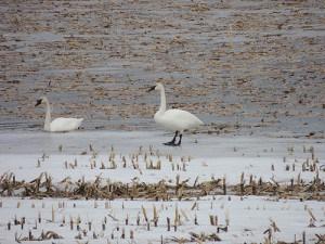 Tundra Swans at Mather's Corners - Luke Berg
