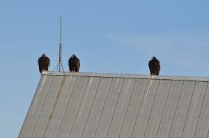 Turkey Vultures  - Nima Taghaboni