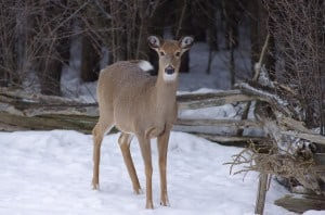 White-tailed Deer - Randy Therrien