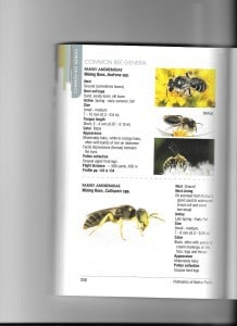 """mining bee -  from Heather-Holm's """"Pollinators of Native Plants"""""""