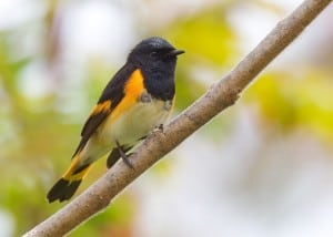 American Redstart - a common warbler at Ecology Park in Beavermead - Karl Egressy