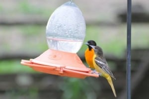 male (rear) and female Baltimore Orioles at nectar feeder - L. Harries