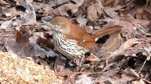 Brown Thrasher  - Ken Thomas WM