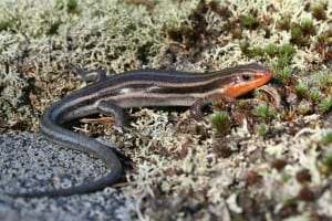 Five-lined Skink - Joe Crowley