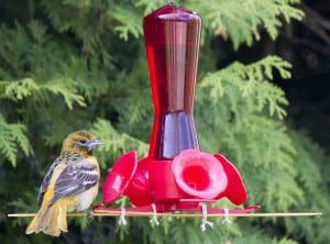 Female Baltimore Oriole on hummingbird feeder with BBQ skewers - care of Jim Watt