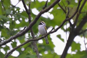 Golden-winged Warbler - Brendan-Boyd-