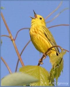Yellow Warbler (Karl Egressy)