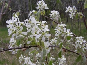 Serviceberry (Drew Monkman)