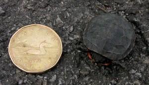 Midland Painted Turtle hatchling -WikiMedia