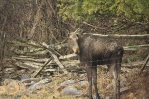 Moose near Chemong Road - April 30, 2014 - Jeff Keller