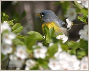Northern Parula - Karl Egressy
