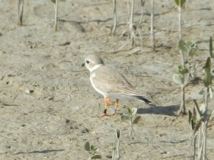 Piping Plover in Florida  - Rob Welsh
